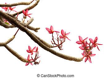 frangipani on white