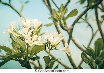 Frangipani or Pagoda tree or Temple tree flower vintage -...