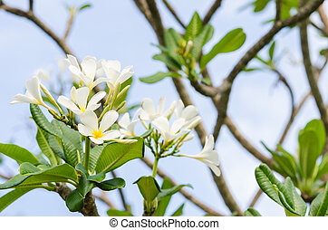 Frangipani or Pagoda tree or Temple tree flower in the...