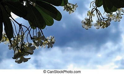 Frangipani or Plumeria flowers with blue sky and clouds in the garden