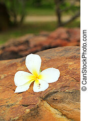 frangipani, pedra, flor, branca