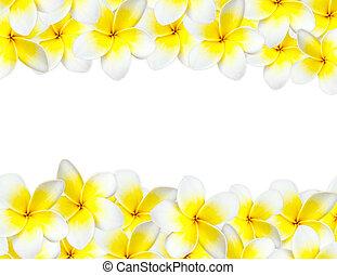 frangipani, plano de fondo