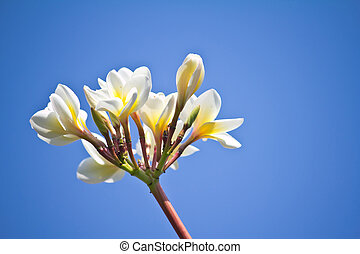 Frangipani (plumeria) against blue sky