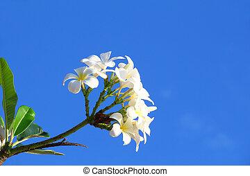 Frangipani (plumeria) flower blooming against the blue sky