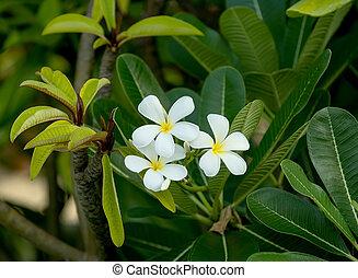frangipani (plumeria) flower
