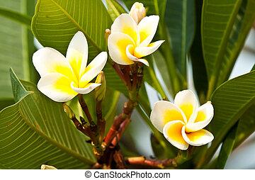 frangipani, Plumeria flowers
