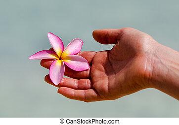 frangipani, (plumeria, rubra)