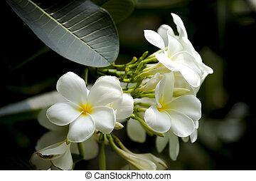 Frangipani, Plumeria, Temple tree - White And Yellow...
