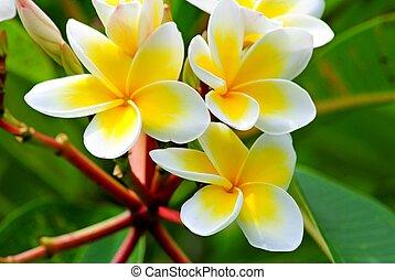Frangipani, Plumeria, Templetree - Plumeria is a genus of...