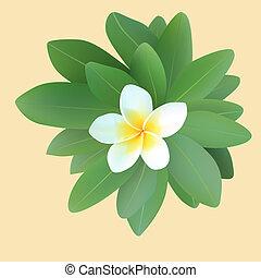 Frangipani plumeria with leaves