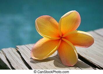 frangipani, por, piscina