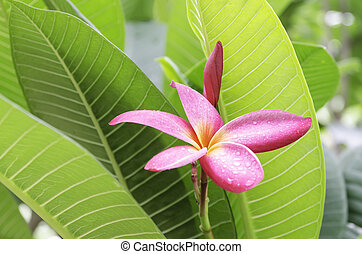 frangipani - the red frangipani with green Leaves background