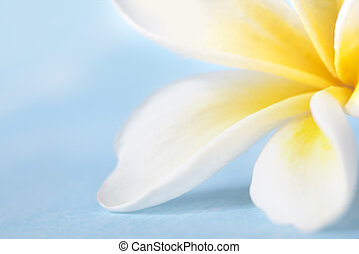 Frangipani flower in very soft focus, over pastel blue...