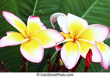 frangipani, terme