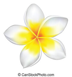 Vector frangipani isolated on white.