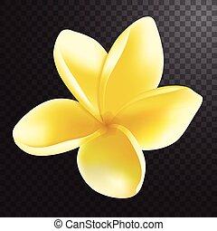 frangipani, vector, realistic., ilustración