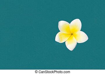 Frangipani - White frangipani in the pool