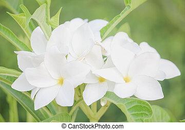 frangipanier, blanc