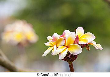 frangipanier, exotique, spa, fleur