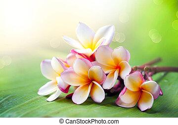 frangipanier, exotique, spa, flower., plumeria