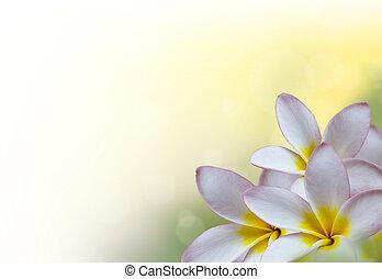 frangipanier, fleurs