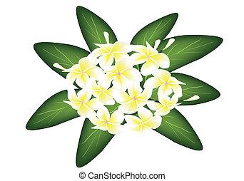 frangipanis, blanco, grupo, plumeria, belleza
