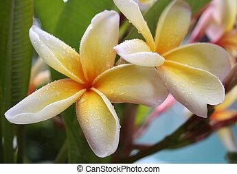 frangipanis, due