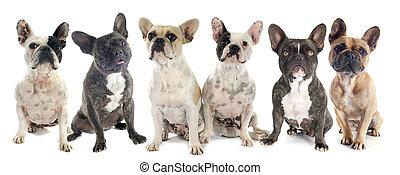 frans bulldogs