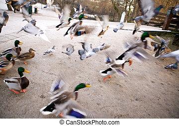 Frantic Ducks
