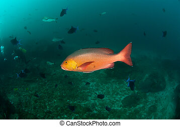 Frantic redfish - The view of a redfish swimming amongst a...