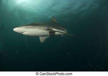 Frantic shark