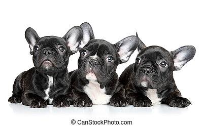 französische bulldogge, hundebabys