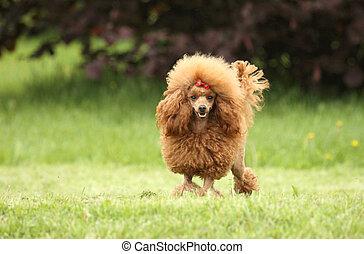 franzoesischer pudel, junger hund, posierend, aus, der, wiese