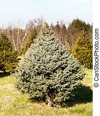 Fraser Fir christmas tree in farm - Christmas tree farm with...