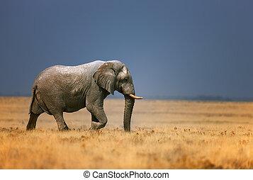 frassfield, elefant