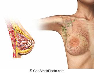 frau, brust, schnitt, diagram.