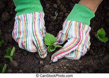 frau, pflanzen, a, setzling, in, der, gemüsegarten, tragen, handschuhe