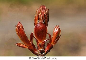 Fraxinus excelsior - ash tree. Spring time concept.