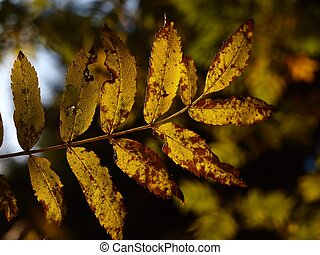 Fraxinus excelsior - Common Ash tree in the autumn, with the...