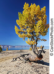 Freaky larch tree on the sand of the Lake Baikal shore