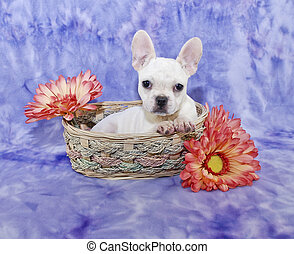 Frech Bulldog Puppy - White French Bulldog puppy sitting in...
