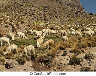 Free alpacas in the natural valley - Alpacas herding in the...