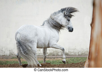 free andalusian horse against white background
