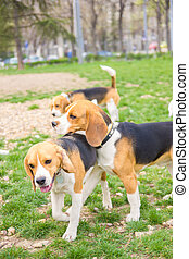 free beagle dogs playing in the park