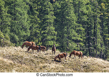 Free Grazing Horses in the Mountain