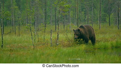 Free large adult brown bear walking in the forest at night -...