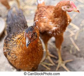 Free - range brown hens. Henyard.