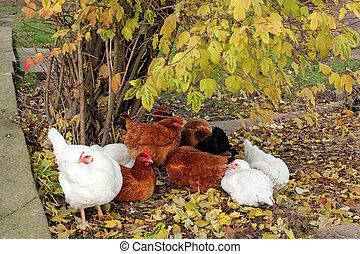 free range happy chickens
