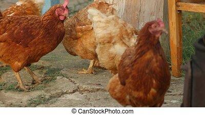 Free range hens feeding handheld footage 4k