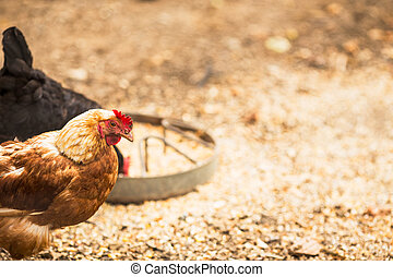Free range hens - Hens in a free range farm. This hens lay...